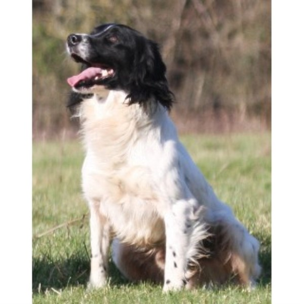 COUNTRYWAYS, English Springer Spaniel Stud in Bristol, Avon
