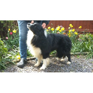 Border Collie Stud in South Yorkshire