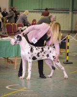 Kris Kingsley - Great Dane Stud