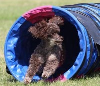 Poodle Miniature Breeder in South Coast, Kent