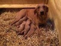 Fox Red Labrador Retriever Puppies For Sale Labrador Retriever for sale/adoption