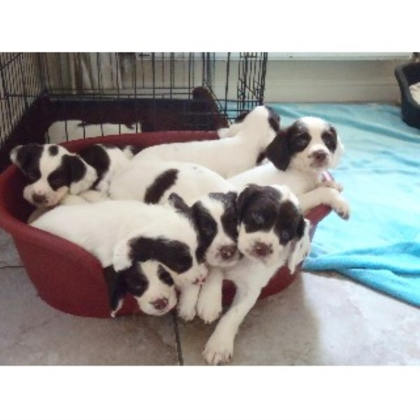 Top Class Working ESS Puppies For Sale