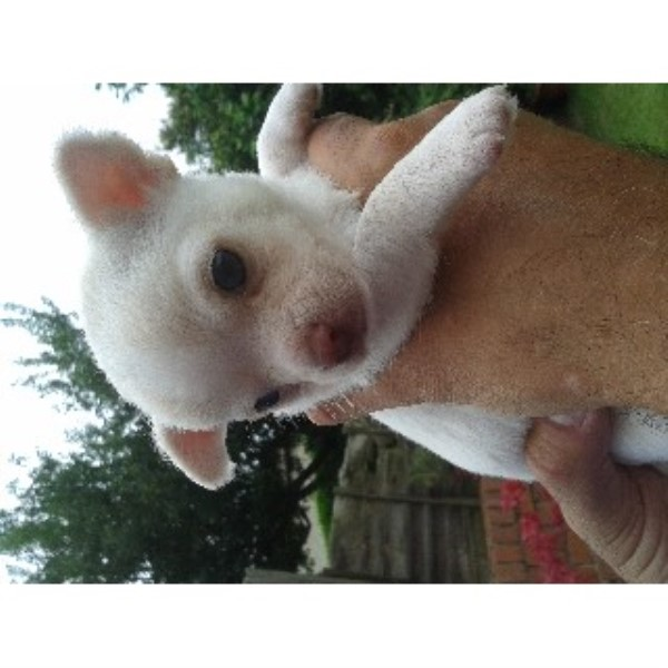 Chihuahua puppy for sale + 34103