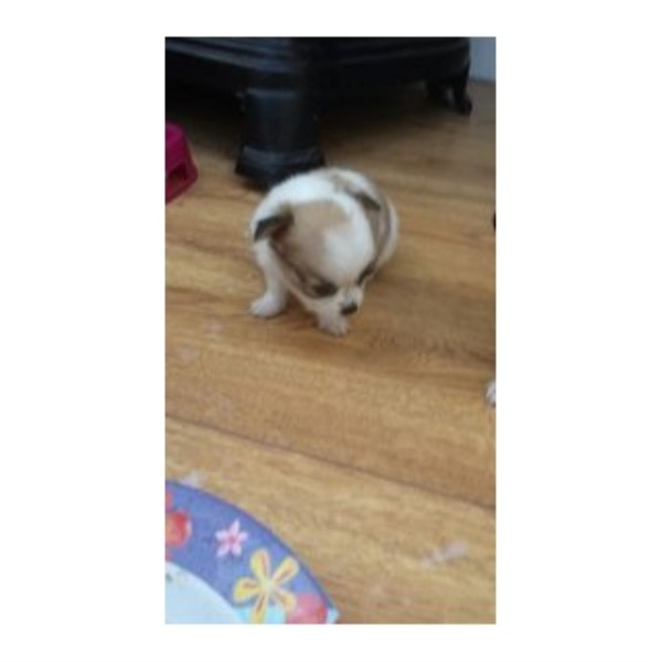 Chihuahua puppy for sale + 33588