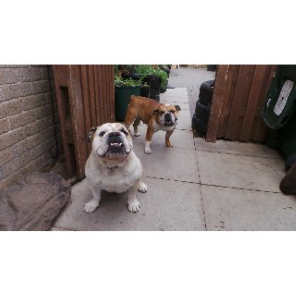 2 British Bulldogs For Sale Male & Female