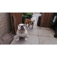 2 British Bulldogs For Sale Male & Female English Bulldog for sale/adoption