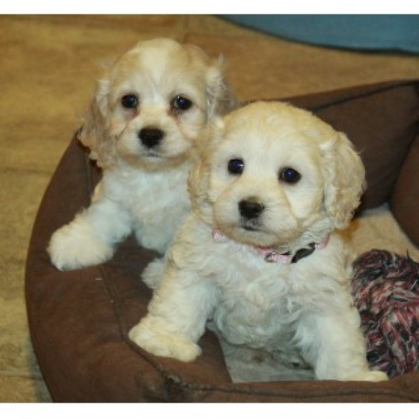 Cockapoo Puppies Now Available Aldershot Hampshire