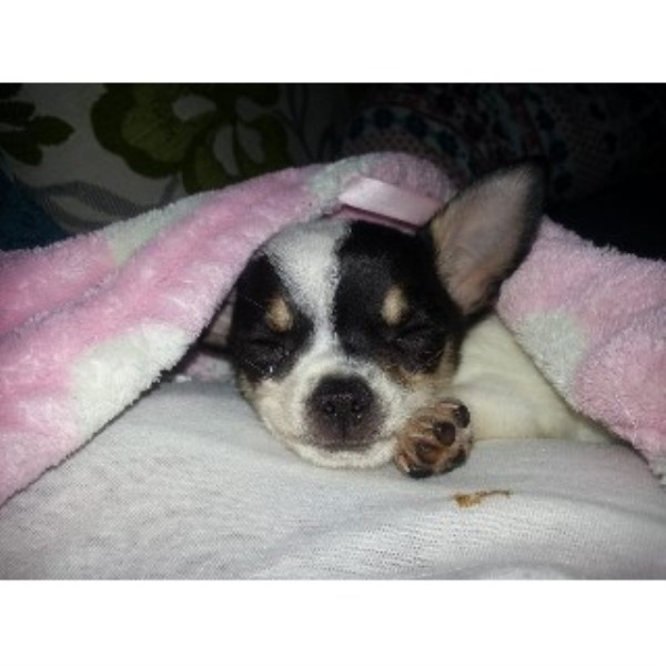 Chihuahua puppy for sale + 33679