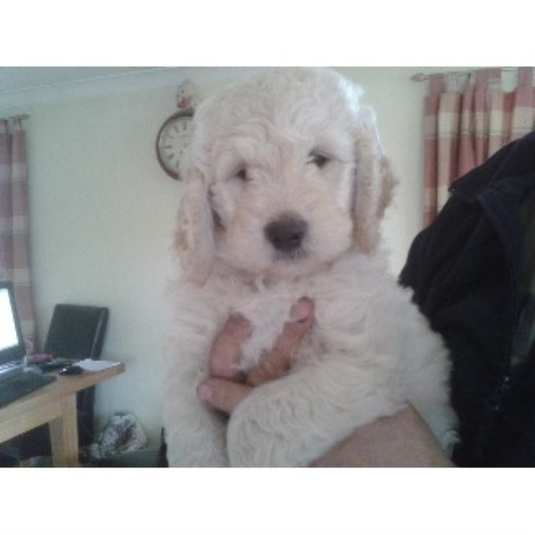 EXCEPTIONAL F1 GOLDENDOODLE PUPPIES - ILMINSTER, Somerset
