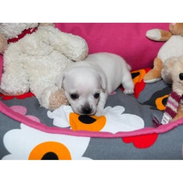 3 Chihuahua Puppies For Sale West Yorkshire Area