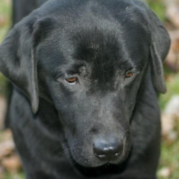 Pedigree Black Labrador Bitch
