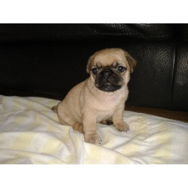 Pugshih Tzu Cross Wigton Cumbria