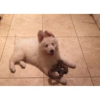 White Genrman Shephed Puppy German Shepherd Dog for sale/adoption