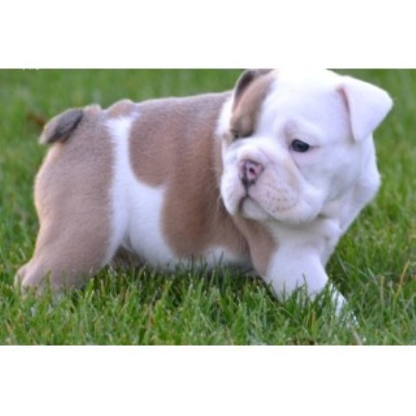 Gorgeous English Bulldog Puppies