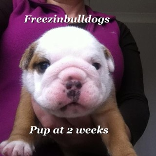 English Bulldog Blyth 33295
