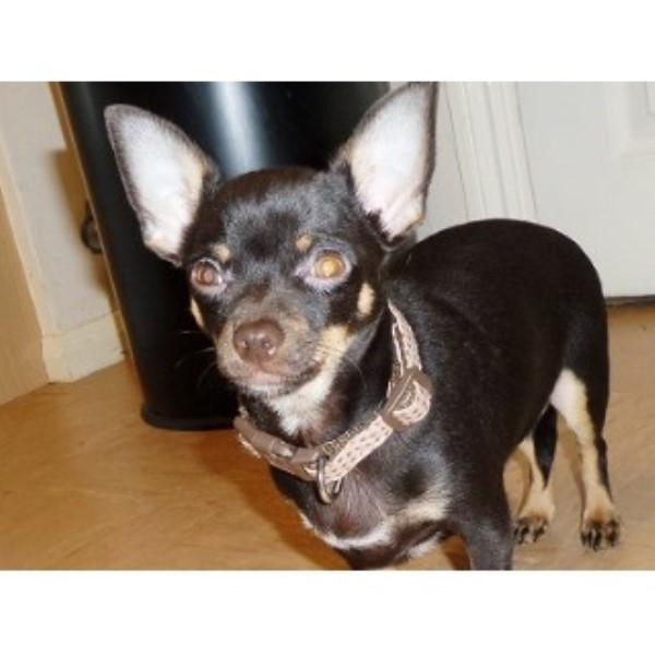 Chihuahua Breeder in Kent