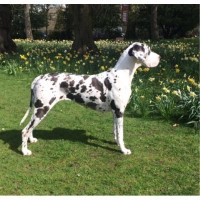 Great Dane Puppies For Sale Great Dane for sale/adoption