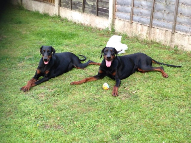 ****Quality Pedigree Doberman Puppies for Sale****