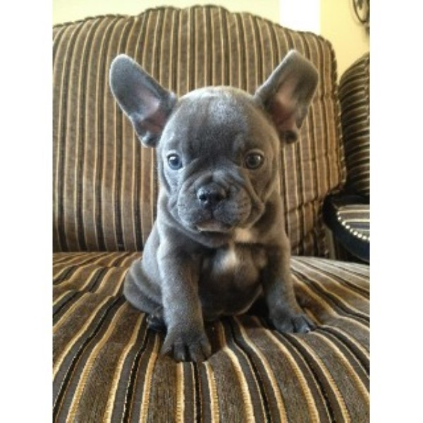 French Bulldog puppy for sale + 33594