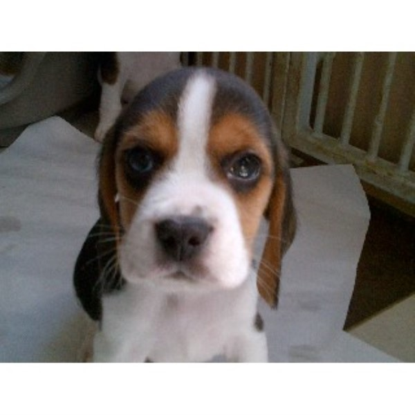 ADORABLE TREBLELLEAN BEAGLE PUPPIES - Wootton, Isle Of Wight