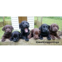 Chocolate  Labrador Retriever Pup Labrador Retriever for sale/adoption