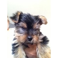 Yotrkshire Terrier Puppies Yorkshire Terrier for sale/adoption