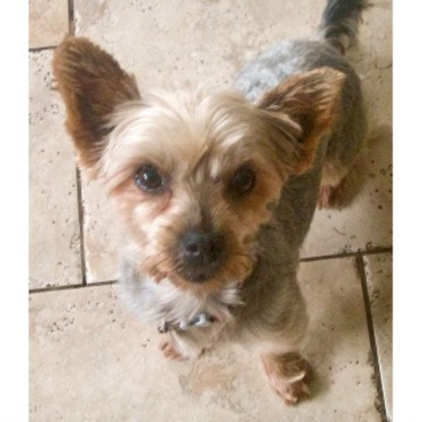Tullulah, 4 Year Old Yorkie Girly Who Is Cat & Dog Friendly – Stroud, Gloucestershire