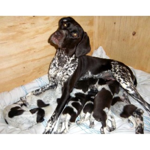 Gorgeous Pedigree German Shorthaired Pointer Pups