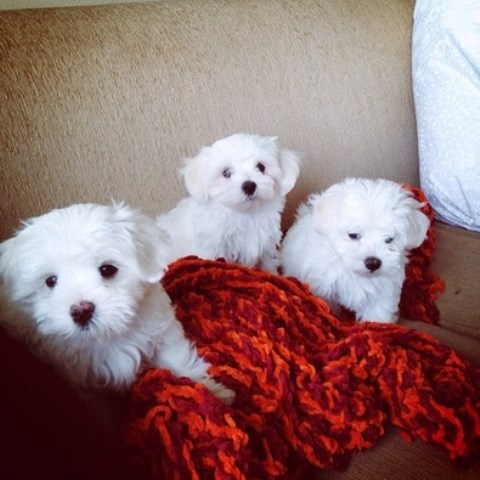 Maltese puppy for sale + 36197