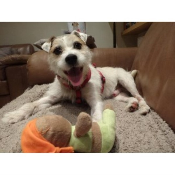 Parson Russell Terrier puppy for sale + 36024