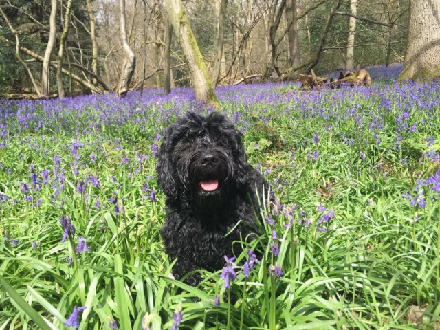 Pedigree Portuguese Water Dog puppies for sale - London, Surrey