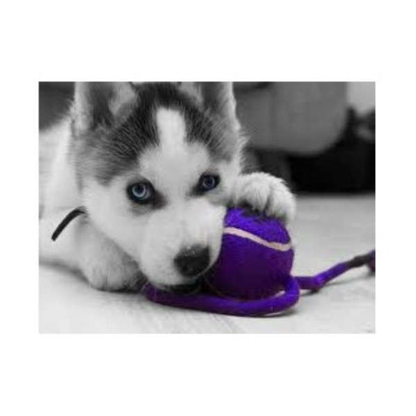 Siberian Husky puppy for sale + 33720