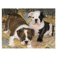 English Bulldog Puppies English Bulldog for sale/adoption