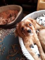 Puppy for sale in Skegness, Lincolnshire