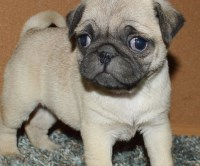 Pug Puppies for sale near you