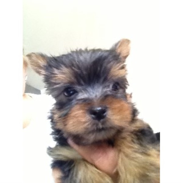 Yorkshire Terrier puppy for sale + 33565