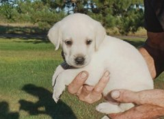 High quality Labrador Puppies Available Labrador Retriever for sale/adoption
