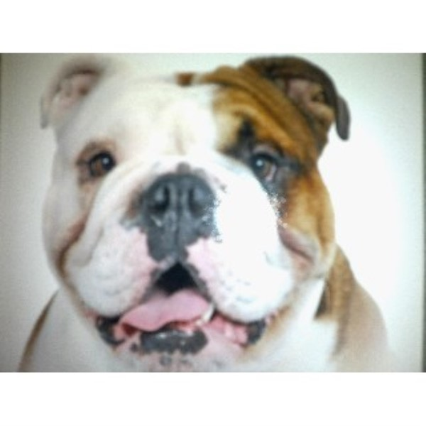 English Bulldog puppy for sale + 23634