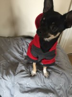 Male Chihuahua 1 Year £300 ono Chihuahua for sale/adoption