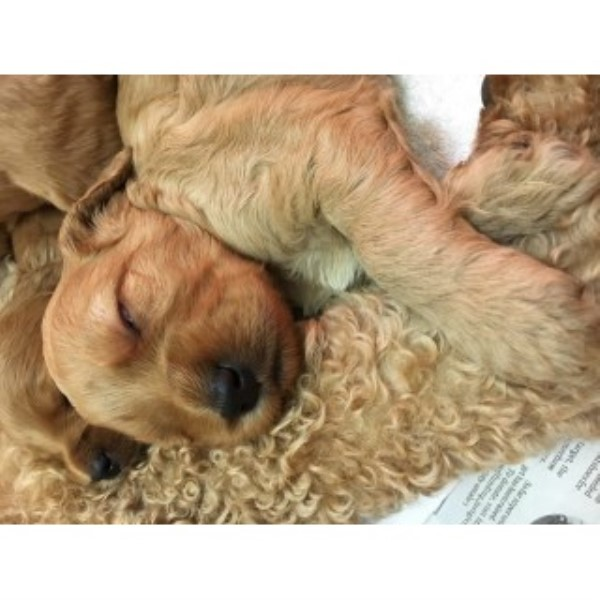 Cockapoo Puppies - Ready To Leave JUST 2 LEFT - Woburn, Bedfordshire