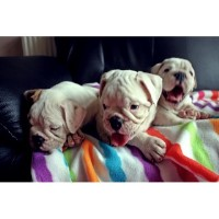 ** English Bulldog Puppies** English Bulldog for sale/adoption