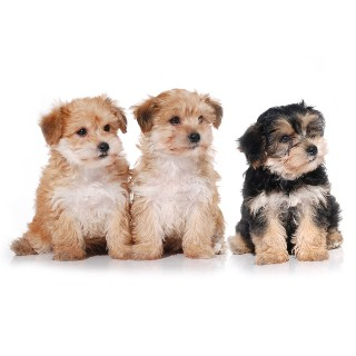 Adorable Yorkiechons