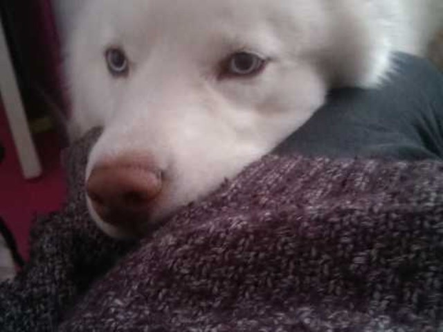 Lovely husky boy looking for forever home