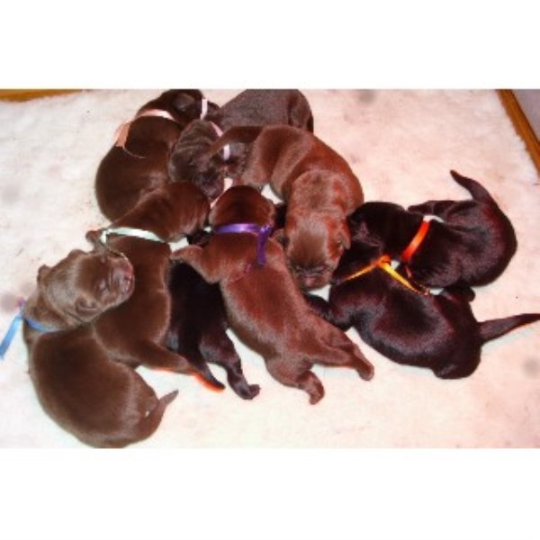 Labrador Retriever Dogs and Puppies for Adoption