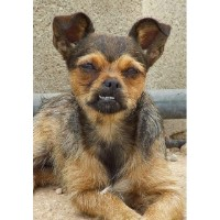 Fifi, 1 Year Old Teeny Tiny Crossbreed Girlie Chihuahua for sale/adoption