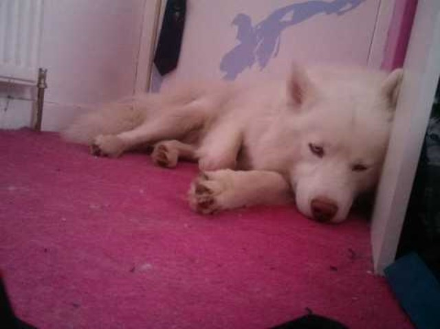 Siberian Husky puppy for sale + 36259