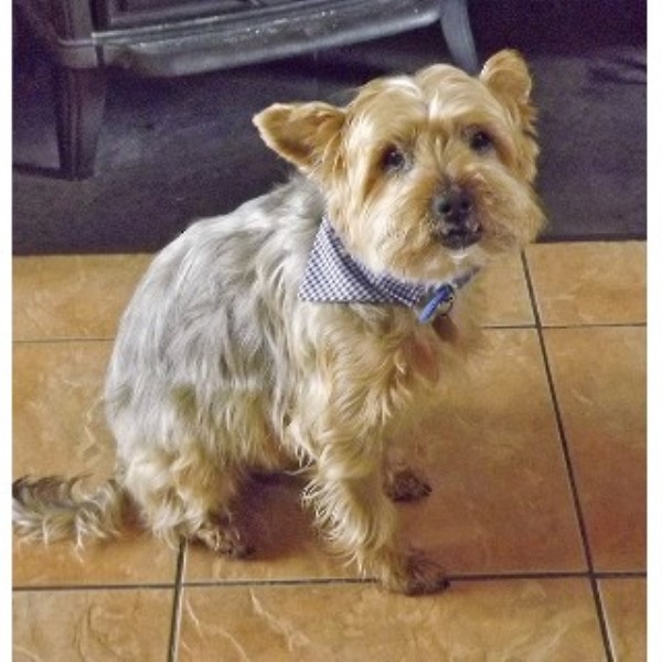 Ted, 10 Year Old Yorkshire Terrier – Stroud, Gloucestershire