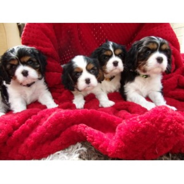 Cavalier King Charles Spaniel Breeder in South Yorkshire