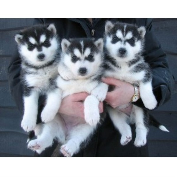 Siberian Husky Puppies For Sale Near You