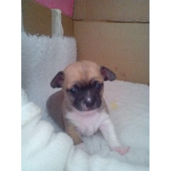 Chihuahua puppy for sale + 33658